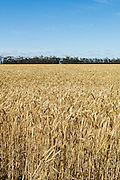 Field of golden wheat before harvesting on a farm  in rural Mingay, Victoria. <br /> <br /> Editions:- Open Edition Print / Stock Image