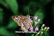 03468-00108 Empress Leilia butterfly (Asterocampa leilia) on Crucita Mistflower (Eupatorium odoratum) Santa Ana National Wildlife Refuge, Hidalgo Co. TX