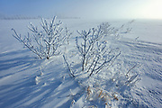 Hoarfrost covered shrubs at sunrise<br />Dugald<br />Manitoba<br />Canada