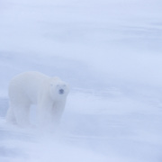 Polar Bear on the frozen ice of Churchill, Manitoba, Canada during a snow storm.
