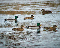 Mallard Ducks at the Sourland Mountain Preserve. Image taken with a Nikon D300 camera and 80-400 mm VR lens (ISO 400, 400 mm, f/8, 1/250 sec).