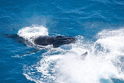 Two Humpback whale bulls engage in combat off Broome's Cable Beach.