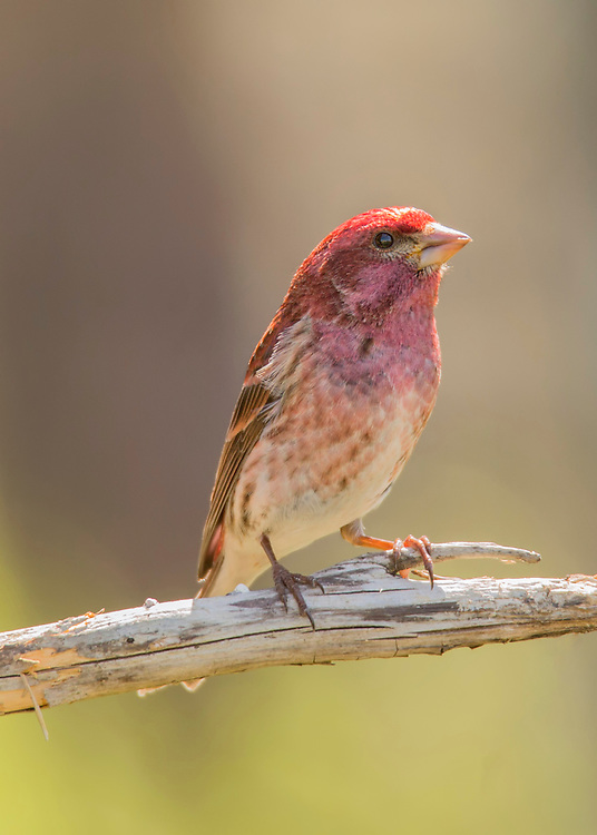 bold colors on this male purple finch