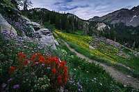 The backcountry hiking trail to Lake Catherine through Catherine Pass in Little Cottonwood canyon near Salt Lake City, Utah as the wildflowers of Summer bloom along the trail.