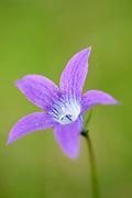 Spreading Bellflower, Campanula patula, Bucegi Mountains, Romania, purple flower, biennial herbaceous plant, native to temperate parts of Europe
