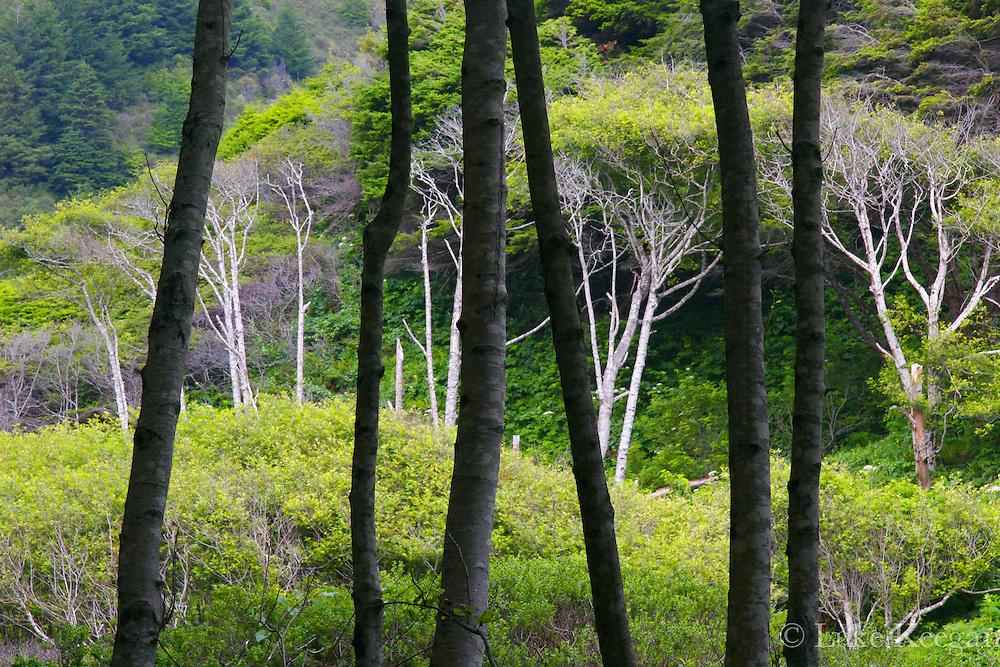 Alders Trees of the Lost Coast in Northern California's Sinkyone Wilderness.