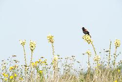 Red-winged blackbird on Arkansas yucca (Yucca arkansana) in wildflower field, Blackland Prairie remnant, White Rock Lake, Dallas,Texas, USA