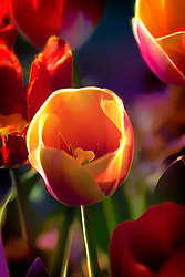 Some Tulips the neighbor planted by their mailbox during sunset lighting with glowing edges and pastelated colors