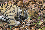Bengal Tiger<br /> Panthera tigris <br /> Eight week old playing with mother's tail<br /> Bandhavgarh National Park, India