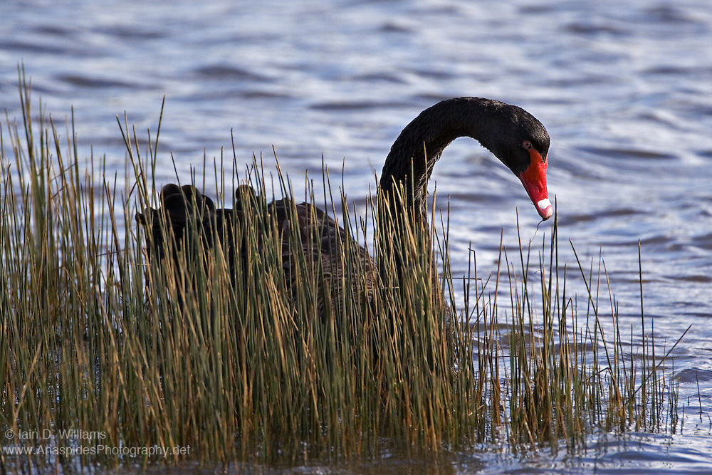 Black Swan (Cygnas alratus) - Tasmania