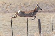 Mule deer jumping fence in habitat.