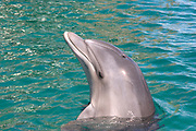 Common Bottlenose Dolphin (Tursiops truncatus) in the Red Sea, Eilat, Israel