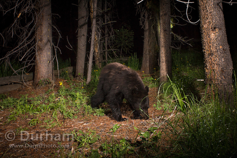 An American black bear (Ursus americanus) photographed with a trail camera via permit at Big Hole National Battlefield, Montana.