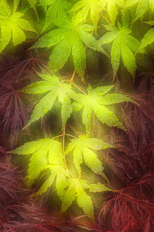 Japanese maple and laceleaf maple, domestic garden, Olympic Peninsula, Clallam County, Washington, USA