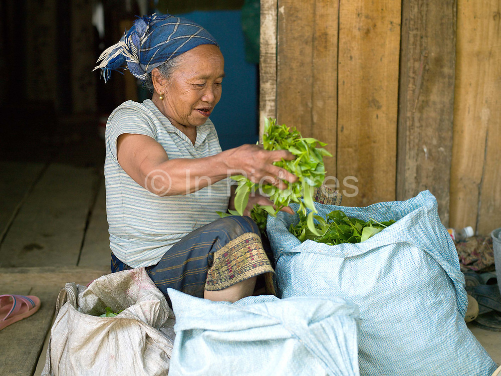 A Phunoi ethnic minority woman with freshly picked tea leaves in Ban Komaen, Phongsaly province, Lao PDR. Phongsaly is famous for its tea and the ancient Komaen tea plantations are unique in the region. Its 48,378 trees are spread over 69 hectares, producing organic leaves which are rich in substances that are much appreciated both locally and in China. Tea is the main economic activity in Komaen, every family has its plantations and everyone takes part in the harvest. The famous '400 year old' Komaen tea is made into tea cigars when the leaves have not been sold to local tea manufacturers.