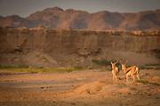 Pair of Springbok in the desert, Skeleton Coast, Northern Namibia, Southern Africa