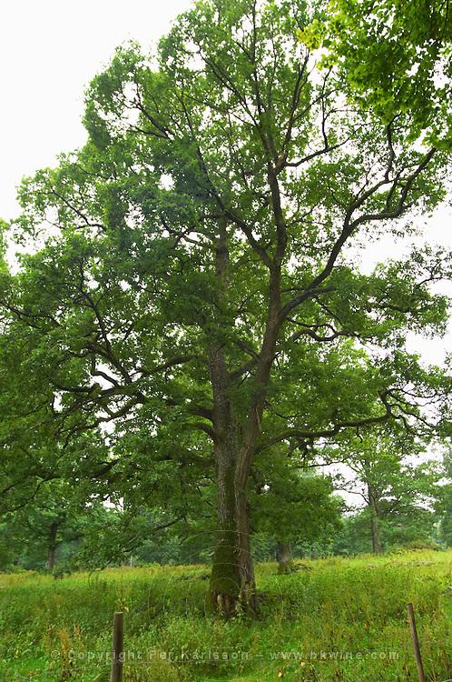 Oak tree in a field. Smaland region. Sweden, Europe.