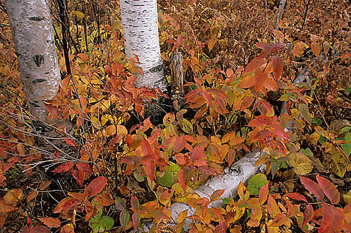 Minnesota, Fall Scenics,Forest in autumn colors.
