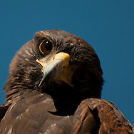 A curious young Harris's Hawk (Parabuteo unicinctus) in Tucson, Arizona.