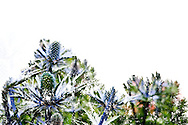 A multiple exposure image of thistles and cottonwood trees at the Center for Urban Horticulture.