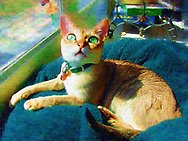 Rockville Centre, New York, U.S.  2003. Singpura Cat Daisy looks up as she lies down in green pet bed pillow by patio glass door.