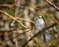 White-throated sparrow getting some sun. Late winter backyard wildlife in New Jersey. Image taken with a Nikon D2xs camera and 80-400 mm VR lens (ISO 400, 400 mm, f/8, 1/500 sec).