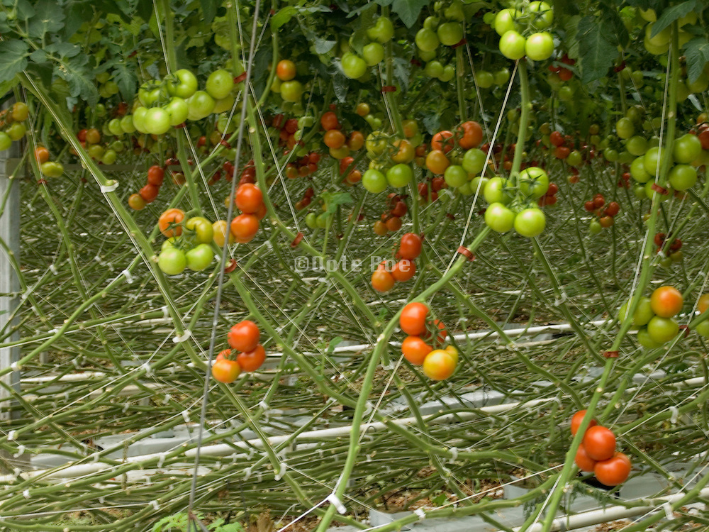 tomato plants growing in large commercial glasshouse