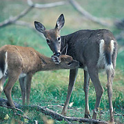 Whitetail Deer, (Odocoileus virginianus) Doe with fawn grooming each other in meadow.