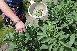 Picking tips off Broadbeans to help prevent blackfly