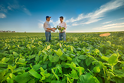Agricultores inspecionam vagem em lavoura de soja, em Campo Mourão no Paraná. FOTO: Jefferson Bernardes/ Agência Preview