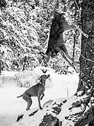 Sugar sniffing deer hanging from tree