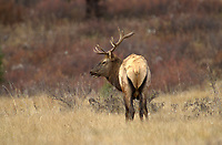 Bull Elk (Cervus elaphus) - also known as Wapati - during the rut,Banff National Park, Alberta, Canada, Bow Valley Parkway   Photo: Peter Llewellyn
