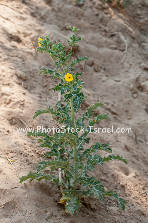Thorny wildplant with yellow flowers Photographed at the Kunene River (Cunene River), the border between Angola and Namibia, south-west Africa