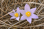 Blossom of the prairie crocus (Anemone patens) <br />