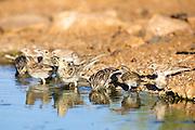 Corn Bunting (Emberiza calandra) Drinking water. Photographed in Israel