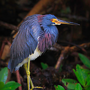 Tricolored heron perched in mangrove between foraging sessions. Ding Darling NWR, Sanibel Island, FL. Image published in Best Shots feature of Wild Planet magazine, Issue 29/March 2016. Republished in portfolio feature, Wild Planet Issue 47/Sept. 2017.