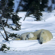Polar Bear, (Ursus maritimus) Mother with very young cub resting. Wapusk National Park near Churchill, Manitoba. Canada.