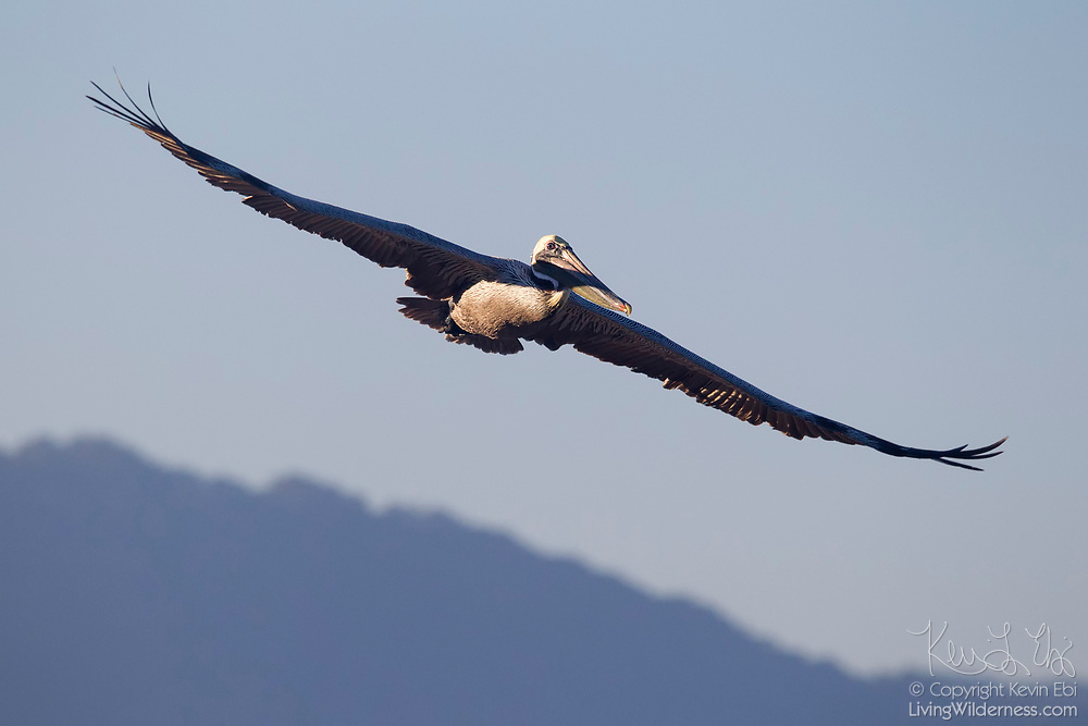 The outstretched wings of a Brown Pelican (Pelecanus occidentalis) in flight mimics the shape of the mountains south of Puerto Vallarta, Mexico.