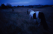 Leslie tethers his horse in a field at dusk. Romany gypsies, Leslie and Edna traveling with a traditional bowtop wagon in the English countryside...English Romany Gypsies traditionally traveled the country roads camping nearby towns and villages, choosing the grassy roadside banks, where they tethered their horses, or in farmer's fields, when they were allowed. Travelling in bowtop wagons drawn by horses, and before that with tents, sometimes with horse drawn carts or just by foot. Often they worked as casual agricultural labourers, doing the seasons work. They also could earn their living in different ways, sometimes selling their wares, brass, tin, wood and cloth, such as embroidered cloths or lace, telling fortunes, music and dancing, and through crafts skills in basket making, plaiting chair bases, sharpening knives,  They would make fires from old wood, cleaning up after them when they moved on. There were several horse fairs, notably Appleby in Cumbria and Stow-on-Wold in the Cotswolds where they trade and sell horses, some traditions which keep to this day.