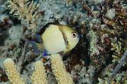Reticulated Dascyllus (Dascyllus reticularis)<br /> Cenderawasih Bay<br /> West Papua<br /> Indonesia