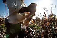 Corn in an illegal settlement in the Mayan Biosphere.