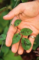 Blackspot on rose leaf