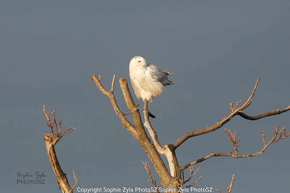 Snowy Owl Look-Out