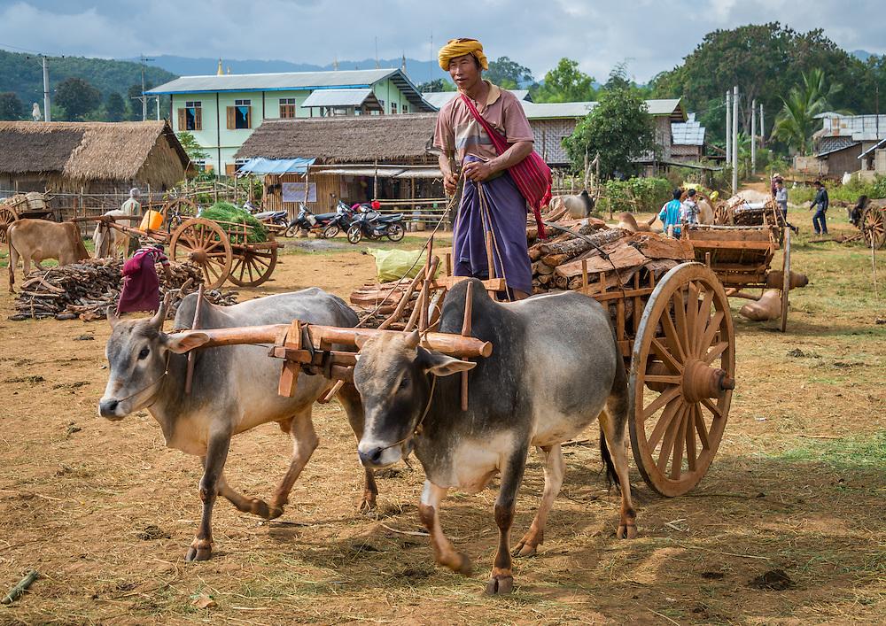 INLE LAKE, MYANMAR - CIRCA DECEMBER 2013: Portrait of burmese man riding an ox cart the Taung Tho Market in Inle Lake, Myanmar