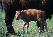 Bull Bison Calf with mom, National Bison Range, Montana