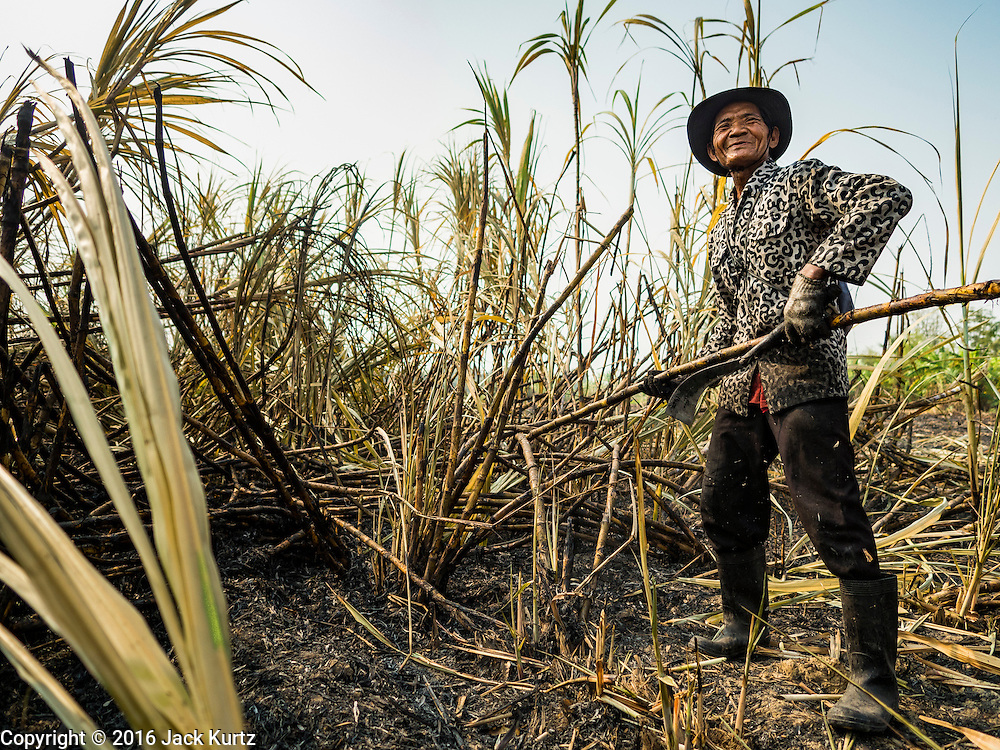 02 FEBRUARY 2016 - THUNG KHOK, SUBPAN BURI, THAILAND: A migrant farm worker from eastern Thailand cuts sugar cane during the harvest in Suphan Buri province, in western Thailand. Thai sugar cane yields are expected to drop by about two percent for the 2015/2016 harvest because of below normal rainfall. The size of the crop is expected to increase slightly though because farmers planted more sugar cane acreage this year. Thailand is the second leading exporter of sugar in the world. Thai sugar growers are hoping a good crop would make up for shortages in global markets caused by lower harvests in Brazil and Australia, where sugar yields have been stunted by drought. Because of the drought in Thailand, sugar exports are expected to drop by up to 20 percent, contributing to a global sugar shortage. The drought is is also hurting the quality of Thai sugar, because sugarcane grown in drought is less sweet than normal so mills need to process more cane to make the same amount of sugar. Thai sugar farmers have lost 20 percent to 30 percent of their output this year because of the drought.       PHOTO BY JACK KURTZ