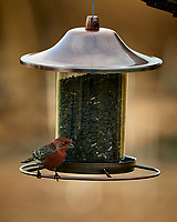 House Finch on a Bird Feeder. Image taken with a Nikon D5 camera and 80-400 mm VRII lens (ISO 560, 400 mm, f/5.6, 1/400 sec).