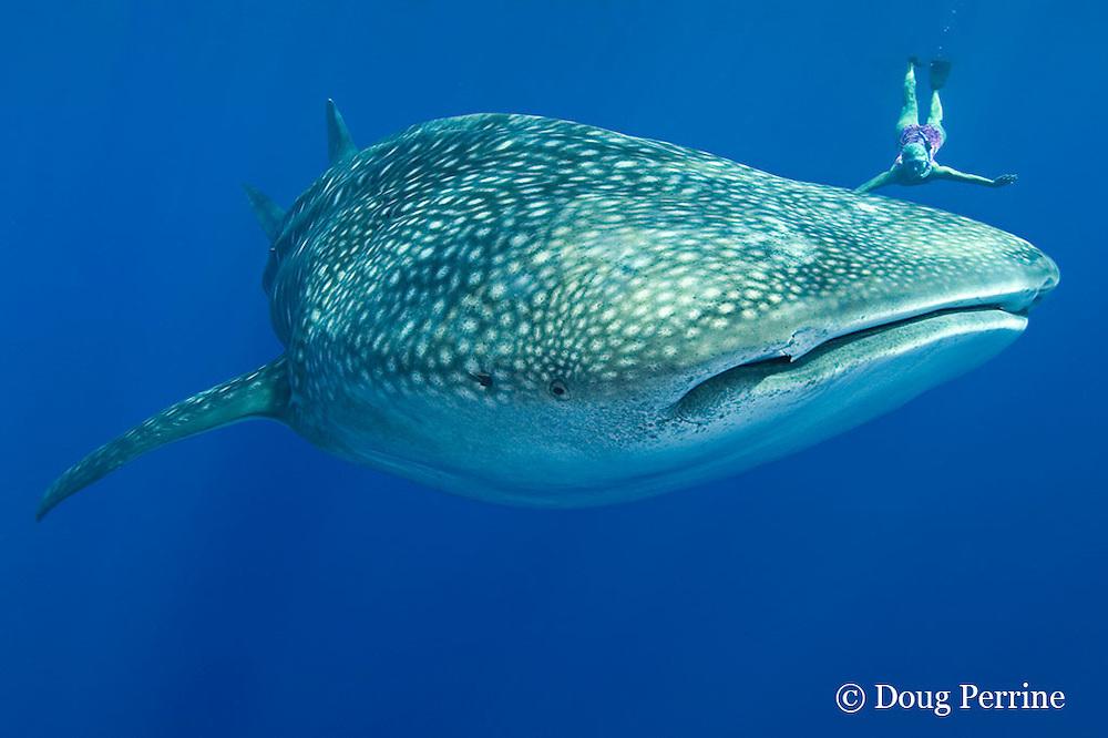 whale shark, Rhincodon typus, and snorkeler, Kona Coast, Hawaii Island ( the Big Island ), Hawaiian Islands, USA ( Central Pacific Ocean ) MR 363