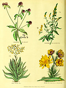 Gomphrena [globe amaranths], Agrimonia [Agrimony], Aloe [Barbados Aloe] and Adonis from Vol 1 of the book The universal herbal : or botanical, medical and agricultural dictionary : containing an account of all known plants in the world, arranged according to the Linnean system. Specifying the uses to which they are or may be applied By Thomas Green,  Published in 1816 by Nuttall, Fisher & Co. in Liverpool and Printed at the Caxton Press by H. Fisher