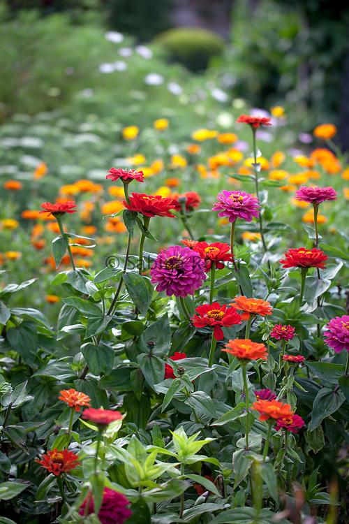 Zinnias and marigolds in a cutting garden